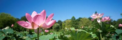https://imgc.artprintimages.com/img/print/beautiful-emperor-lotus-blooms-a-delicate-shade-of-pink_u-l-p5vn8a0.jpg?p=0