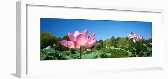 Beautiful Emperor Lotus Blooms a Delicate Shade of Pink-Richard Nowitz-Framed Photographic Print