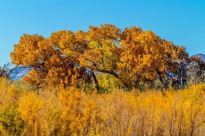 Beautiful Fall Foliage on Cottonwood Trees along the Rio Grande River in New Mexico.-Richard McMillin-Photographic Print