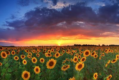 Beautiful Field of Sunflowers on the Sunset Background-Anton Petrus-Photographic Print
