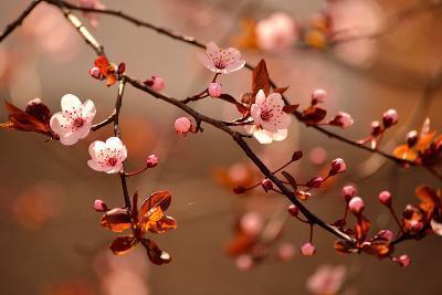 Beautiful Flowering Japanese Cherry - Sakura.- Montypeter-Photographic Print