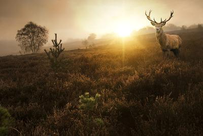 Beautiful Forest Landscape of Foggy Sunrise in Forest with Red Deer Stag-Matt Gibson-Photographic Print