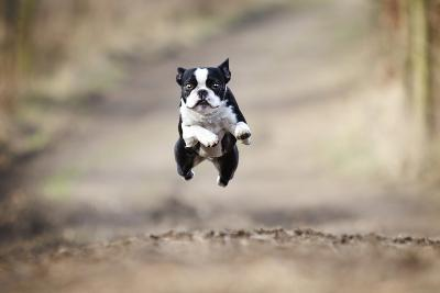 Beautiful Fun Young Boston Terrier Dog Trick Puppy Flying Jump and Running Crazy-Best dog photo-Photographic Print