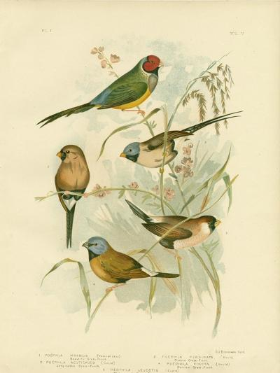 Beautiful Grass-Finch, 1891-Gracius Broinowski-Giclee Print