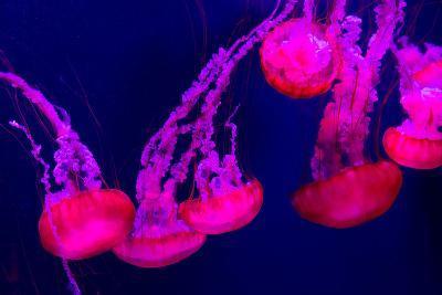 Beautiful Jellyfish Moving Slowly in Aquarium in Dubai-bloodua-Photographic Print