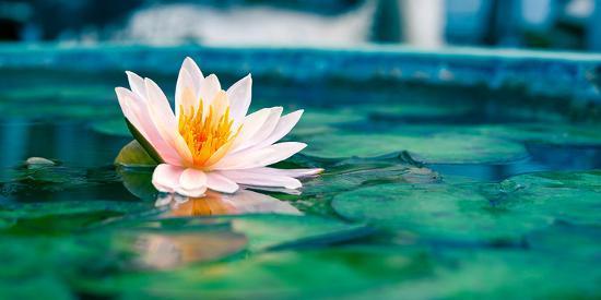 beautiful-lotus-flower-in-pond