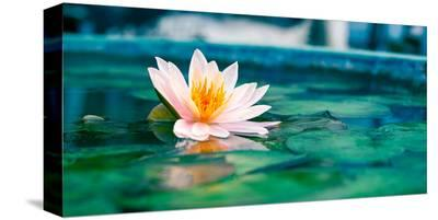 Beautiful Lotus Flower In Pond--Stretched Canvas Print