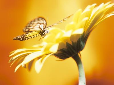 Beautiful Monarch Butterfly on Blooming Daisy--Photographic Print