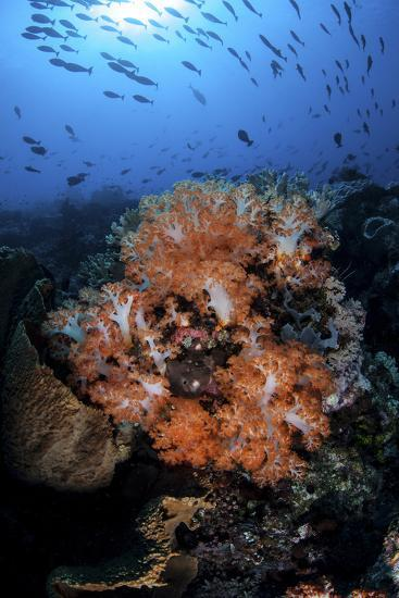 Beautiful Orange Soft Corals on a Current-Swept Reef in Indonesia-Stocktrek Images-Photographic Print