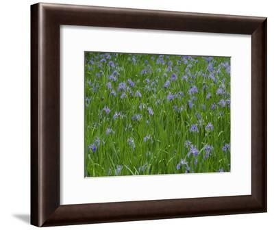 Beautiful Picture of Irises in Bloom at the Ohta Shrine-George F. Mobley-Framed Photographic Print