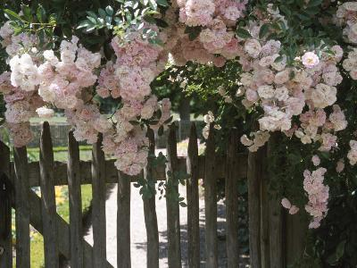 Beautiful Pink Roses Growing on Wooden Fence--Photographic Print