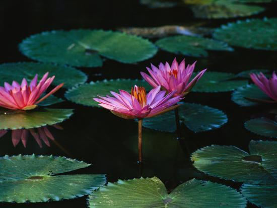 Beautiful Pink Water Lily Flowers in Bloom Photographic Print by Wolcott Henry | Art.com