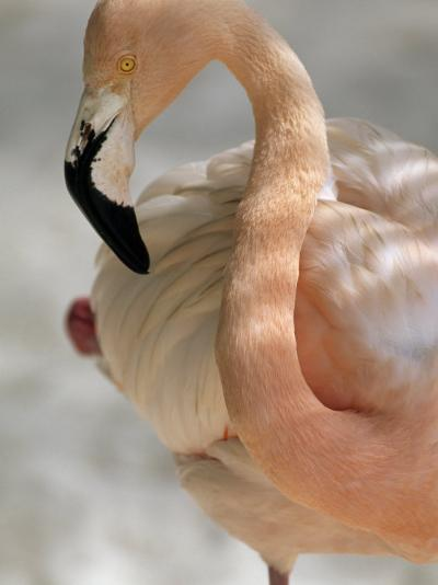 Beautiful Portrait of a Flamingo-Michael Melford-Photographic Print