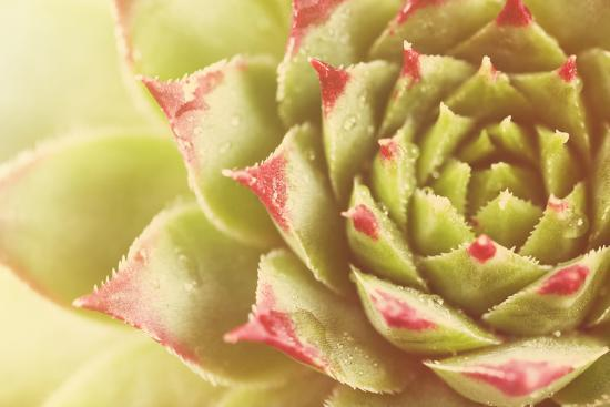 Beautiful Succulent Plant with Water Drops close Up-Yastremska-Photographic Print