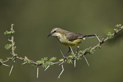 Beautiful Sunbird (Cinnyris Pulchella)-James Hager-Photographic Print