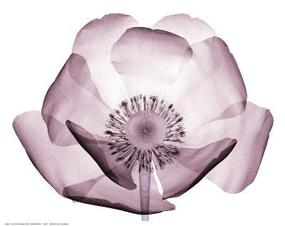 Beautiful Translucent Lavender Poppy--Art Print