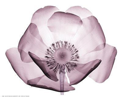 https://imgc.artprintimages.com/img/print/beautiful-translucent-lavender-poppy_u-l-f8ummn0.jpg?p=0