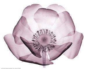 Beautiful Translucent Lavender Poppy