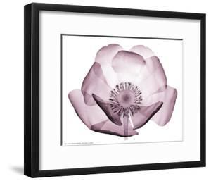 Beautiful Translucent Lavender Poppy