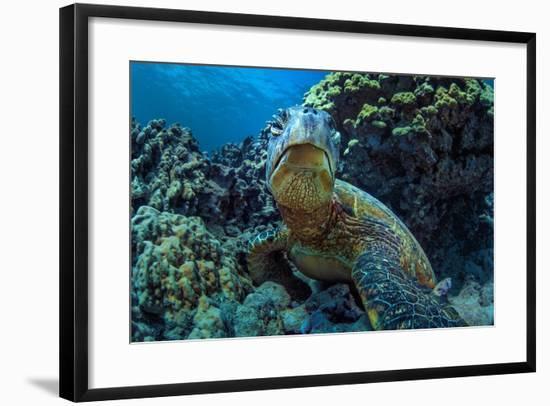 Beautiful Underwater Wildlife Postcard. Hawaiian Sea Turtle Honu Getting Rest in Coral Reef. Wild N-Willyam Bradberry-Framed Photographic Print