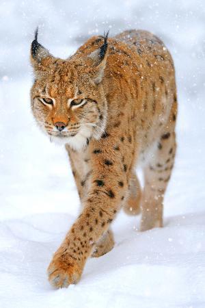 beautiful-wild-lynx-in-winter