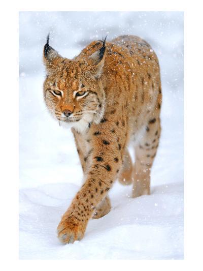 Beautiful Wild Lynx In Winter--Art Print
