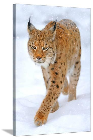 Beautiful Wild Lynx In Winter--Stretched Canvas Print