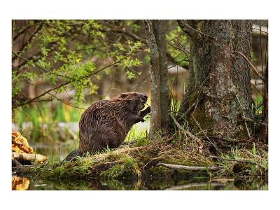 Beaver Closeup in the Forest--Art Print