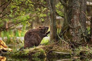Beaver Closeup in the Forest