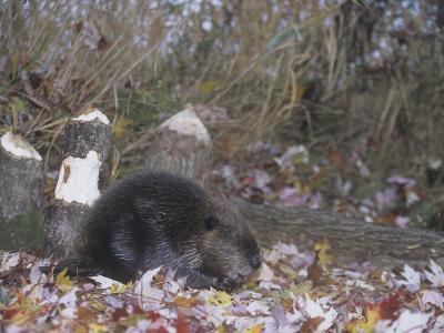 Beaver Next to Recently Felled Trees, Castor Canadensis, North America-Bill Banaszewski-Photographic Print