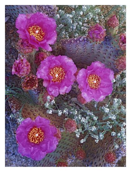 Beavertail Cactus flowering, North America-Tim Fitzharris-Art Print