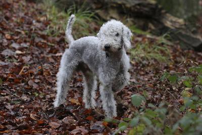 Bedlington Terrier 03-Bob Langrish-Photographic Print