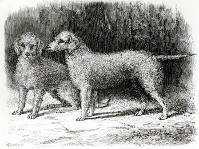 Bedlington Terriers- Mr. F. Armstrong's Rosebud and Mr. A. Armstrong's Nailor--Giclee Print