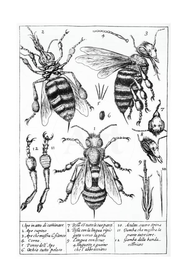 Bee Anatomy, Historical Artwork Giclee Print by Science Photo ...