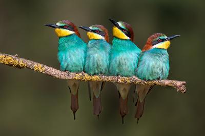 Bee-Eater Resting-Xavier Ortega-Photographic Print