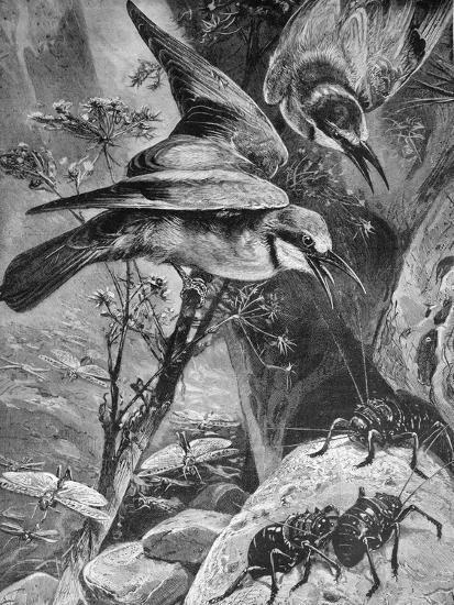 Bee-Eaters or Bee Eaters 1898-Chris Hellier-Giclee Print