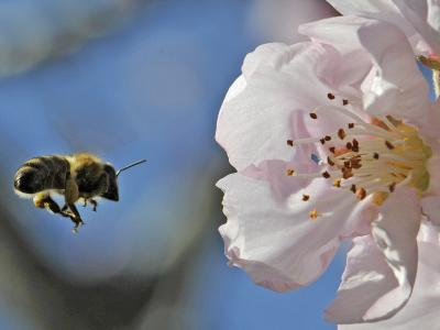 Bee Flies Towards the Blossom of an Almond Tree in a Park in Freiburg, Southern Germany--Photographic Print