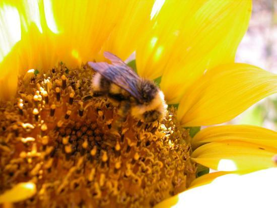 Bee Hovering over Blooming and Bright Sunflower Plant--Photographic Print