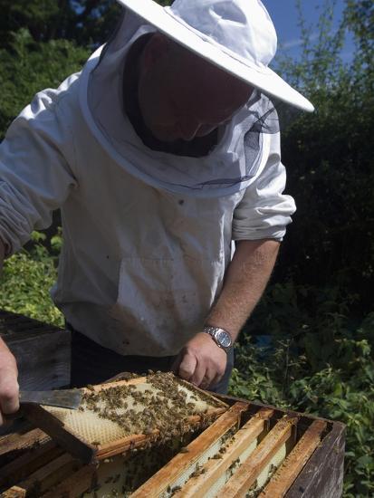 Bee Keeper Tending His Honey Bee (Apis Mellifera) Hives-Louise Murray-Photographic Print