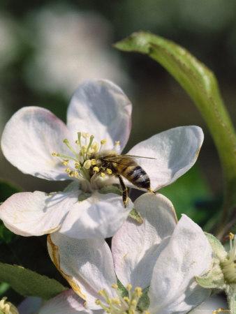 https://imgc.artprintimages.com/img/print/bee-on-apple-blossoms_u-l-pxz1ff0.jpg?p=0
