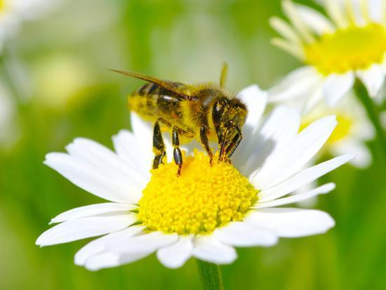 Bee On The Chamomile Flower-Ale-ks-Photographic Print