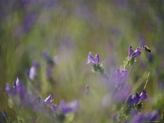 Bee Pollinating Wildflowers-Jason Edwards-Photographic Print