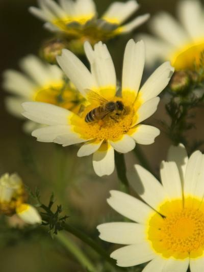 Bee Sitting on Wildflower, Naxos, Southern Aegean, Greece-Diana Mayfield-Photographic Print