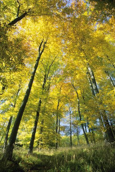 Beech Forest in Autumn Colour--Photographic Print