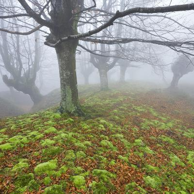 Beech Forest in the Gorbea Nature Reserve, Fog, Moss, Basque Country, Spain-Rainer Mirau-Photographic Print