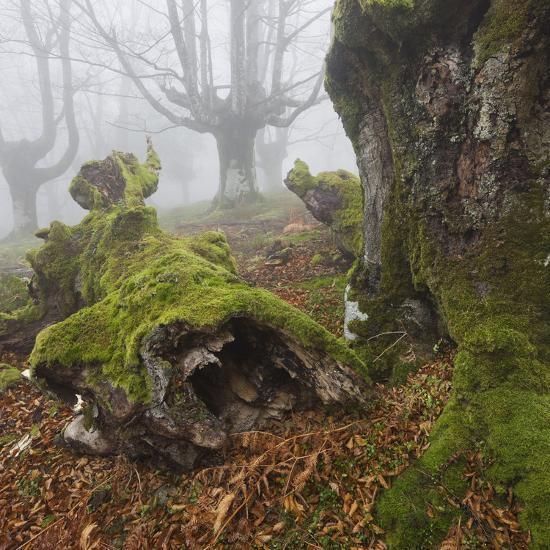 Beech Forest in the Gorbea Nature Reserve, Fog, Moss, the Basque Provinces, Spain-Rainer Mirau-Photographic Print