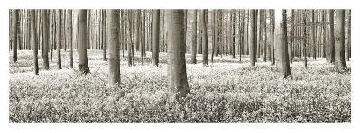 Beech forest with bluebells, Belgium-Frank Krahmer-Art Print