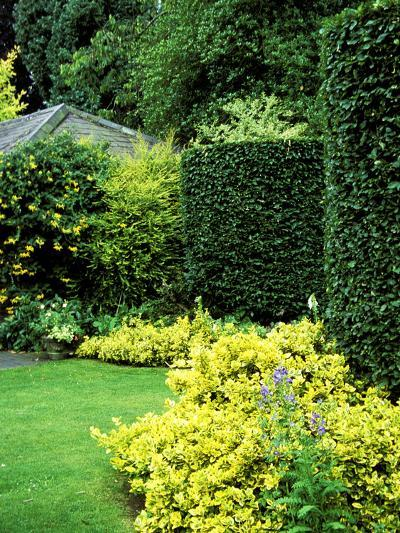 Beech Hedging with Bright Yellow Variegated Euonymus at Base-Lynn Keddie-Photographic Print