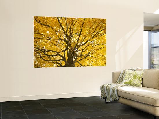 Beech Tree in Autumn, Surrey, England-Jon Arnold-Wall Mural