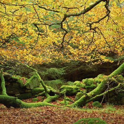 Beech Trees and Fall Foliage, with Lichen on Fallen Branches-Roy Rainford-Photographic Print